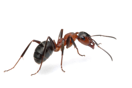 Ants 24 hour Pest London Hertfordshire