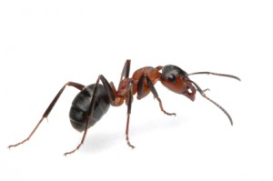 ant-large