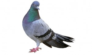 Pigeon Pests London Hertfordshire