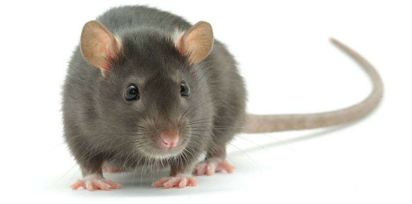 Rats 24 Hour Pest Control London