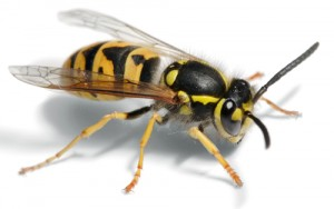Wasp removal London Hertfordshire